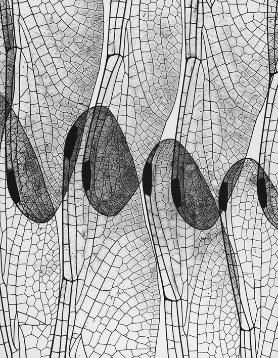 Dragonfly Wings 1937 by Andreas Feininger