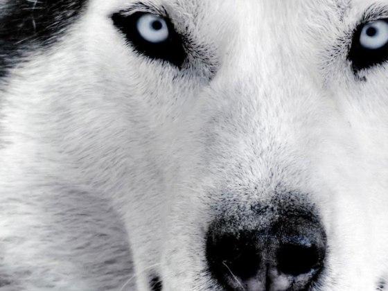 La primavera del lupo di Andrea Molesini